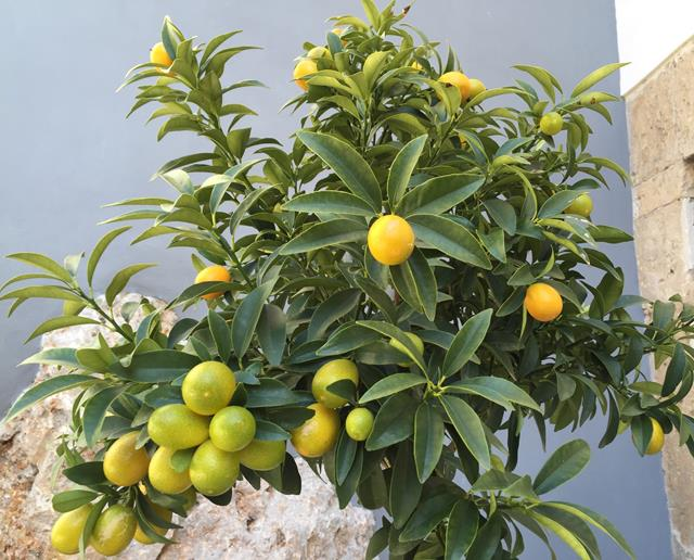 kumquat trees (Copy)